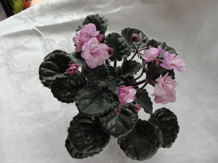 Ness' Satin Rose - Leaf 2 pack
