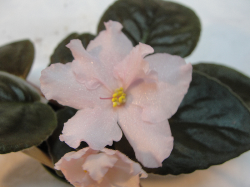 China Pink - Leaf 2 pack