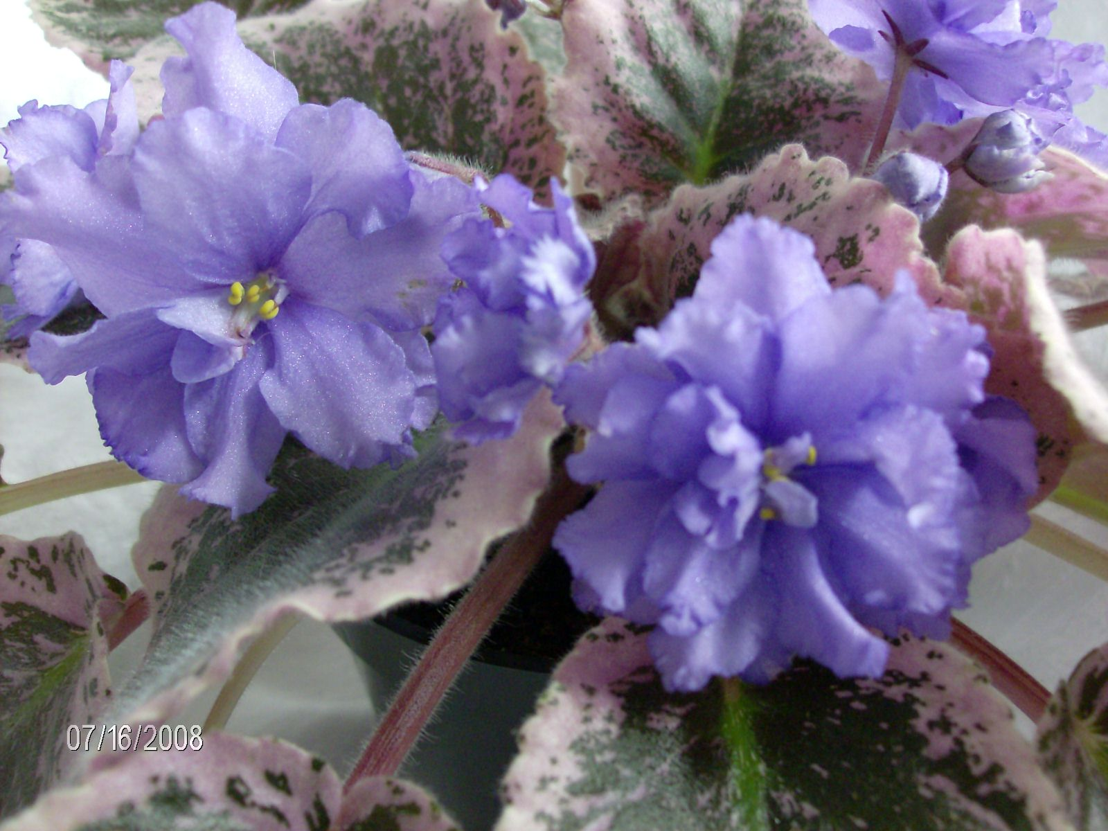 "Wrangler's Swinging Blues in 2.5"" Pot"